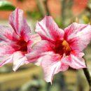 Bunga Adenium Red White
